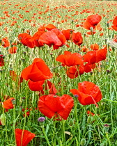 Poppies along the way cycling in Provence with ExperiencePlus