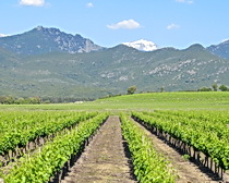 Vineyards and mountains in Corsica. Photo by ExperiencePlus! traveler Nancy Andreae