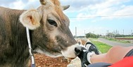 banner_cow