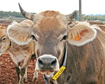 A beautiful Puglian cow - see her with ExperiencePlus! Bicycle Tours