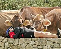 Curious cows in Puglia