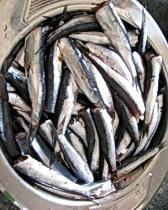 Fresh sardines from the market in Split