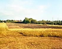 Silvia's saffron field